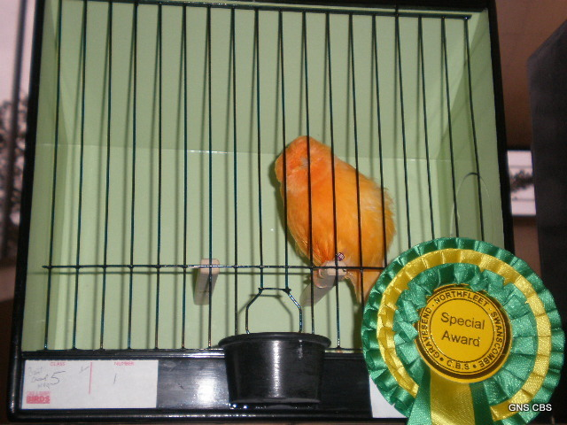 Winning Norwich canary