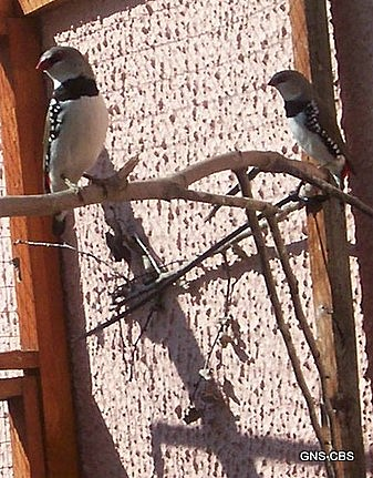 Diamond sparrows on a branch in the sun